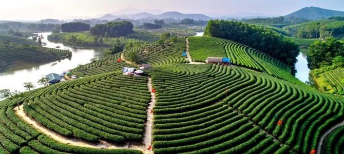Verdant Tea Hills